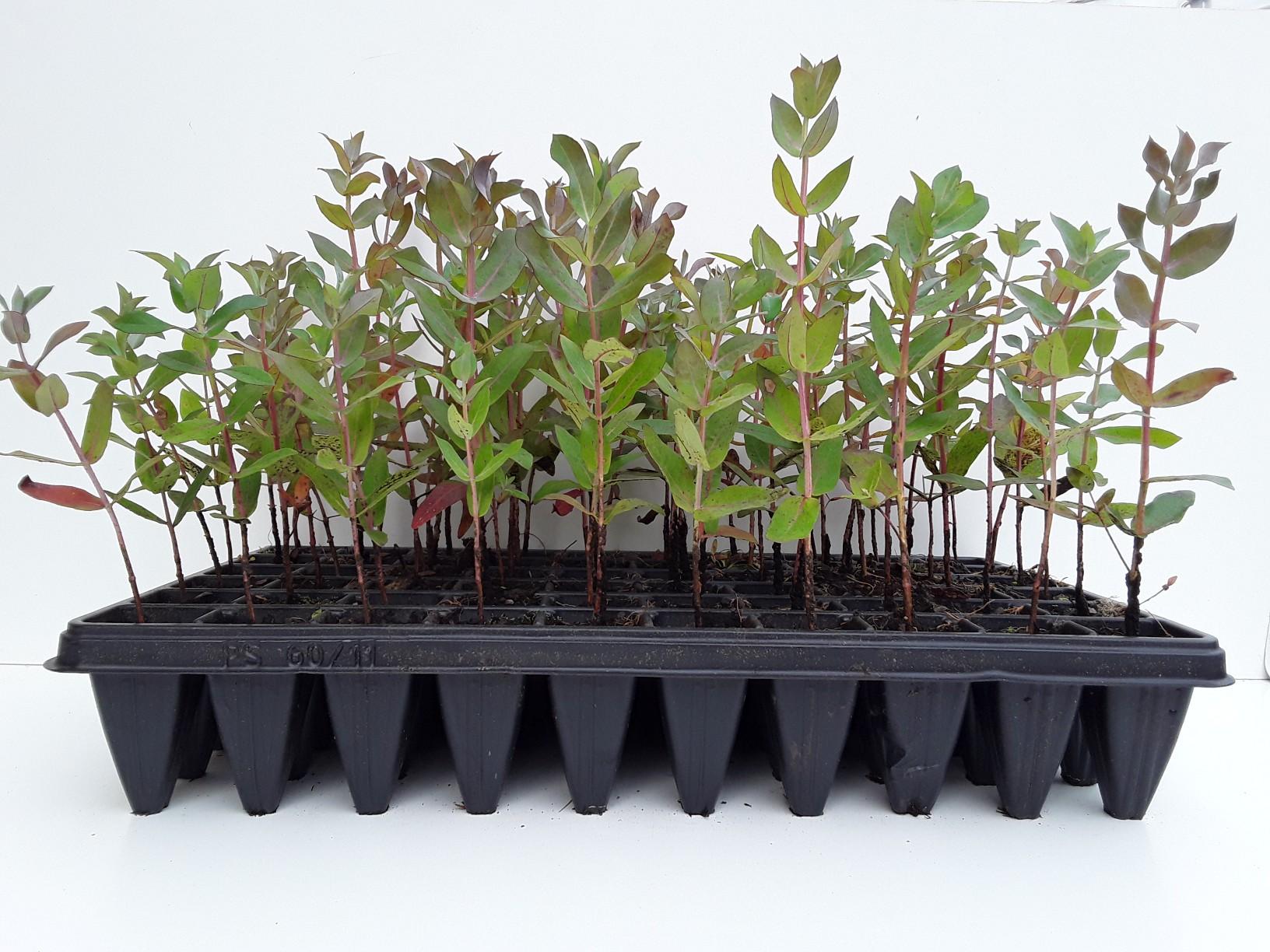 Eucaliptus globulus mejorado los molinos viveros de for Viveros en asturias
